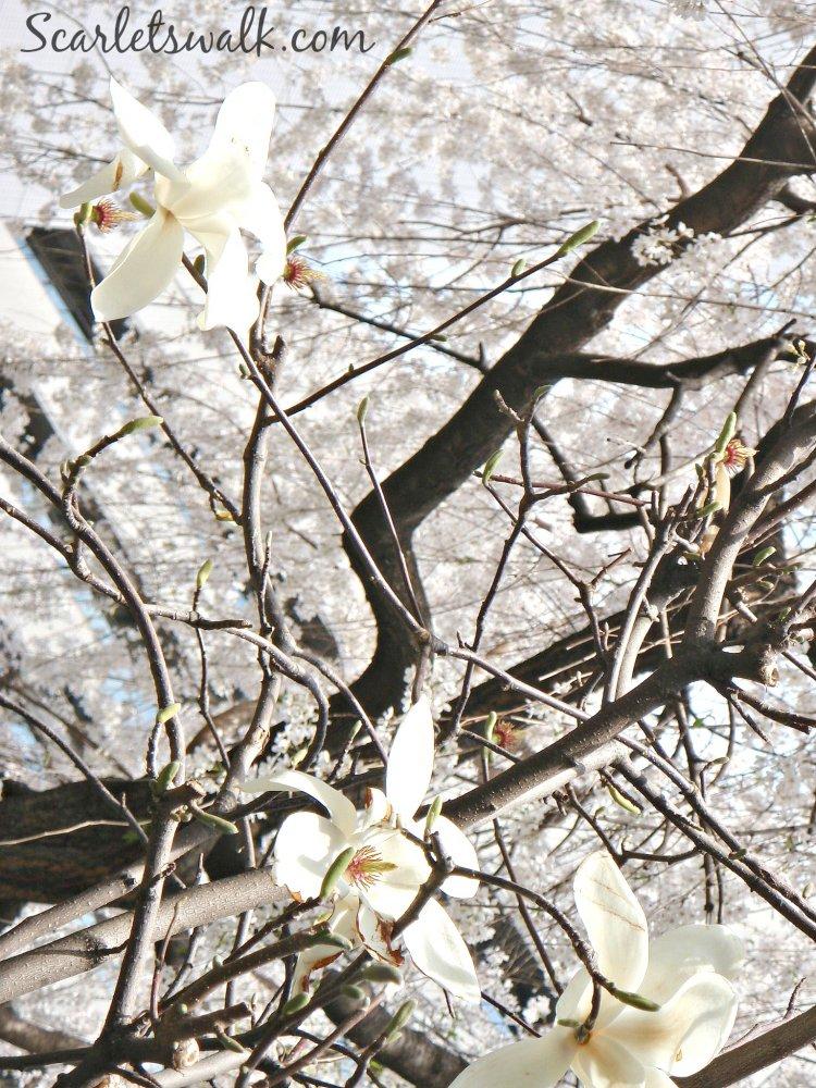 valkoiset magnoliat japanissa