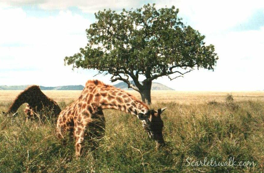 Tanzania Serengeti kirahvit