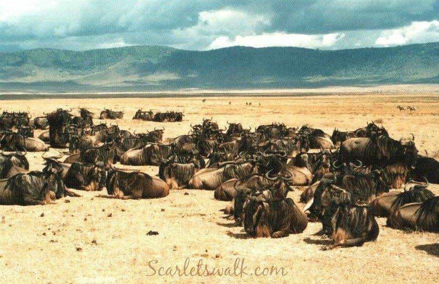 Tanzania serengeti buffaloes