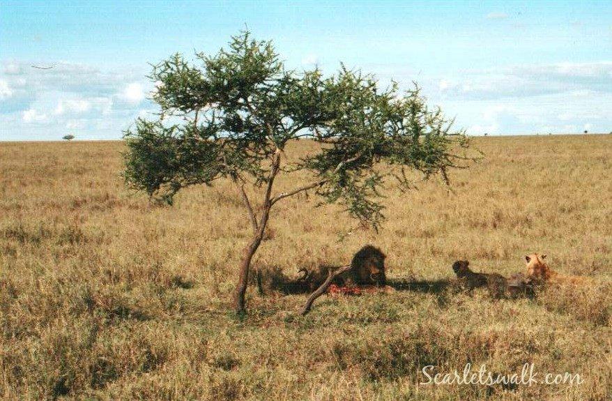 Tanzania serengeti leijonat