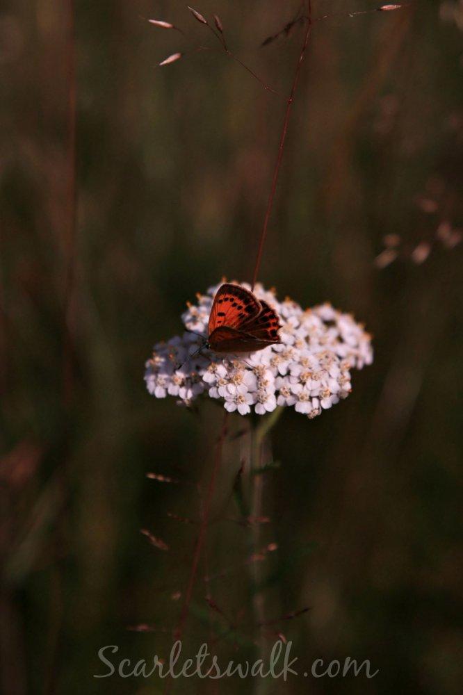 Tankar perhonen luonto visit kokkola