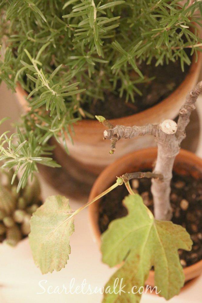 rosmariini viikuna puu