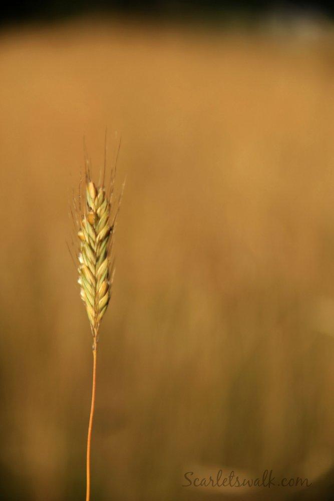 syksy viljapelto
