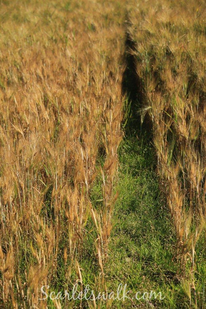 viljapelto fields of gold
