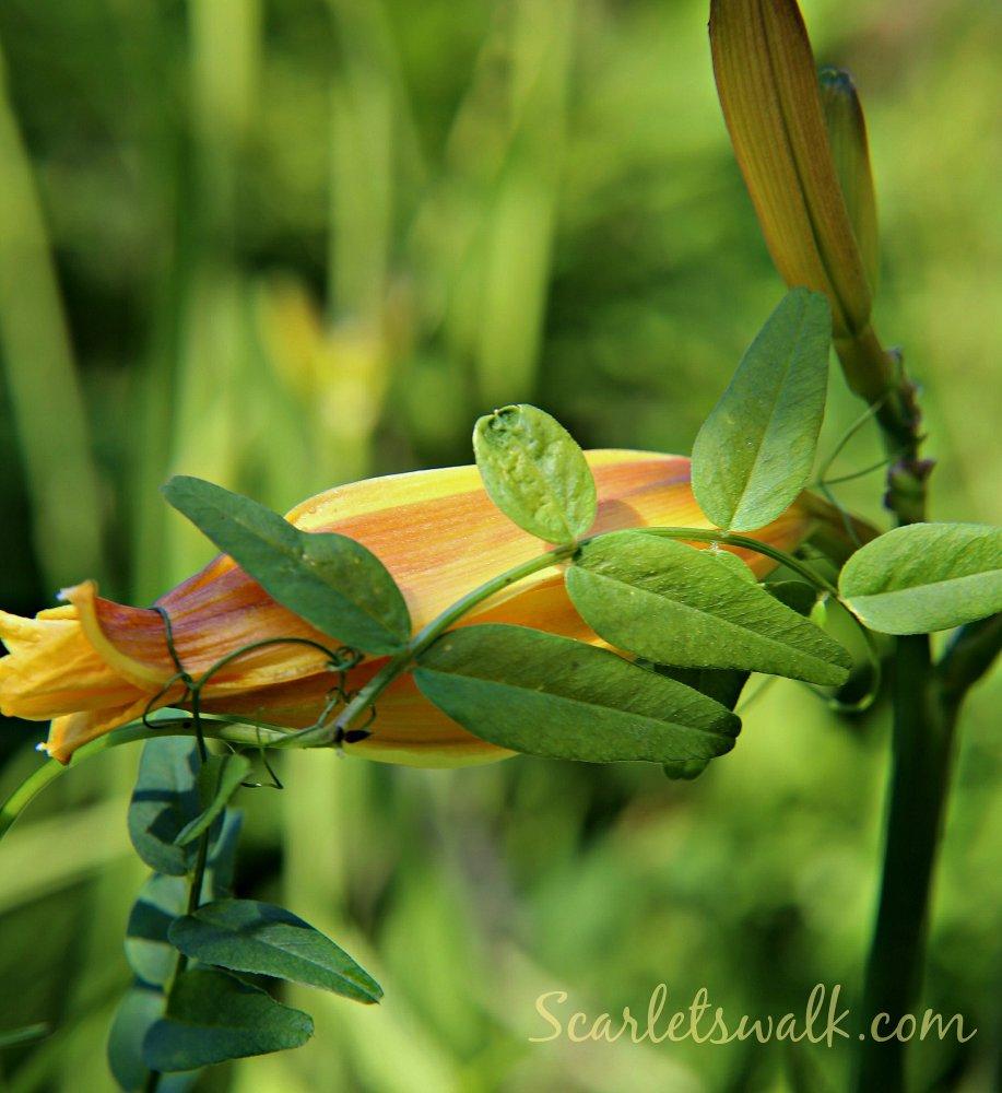 keltainen lilja