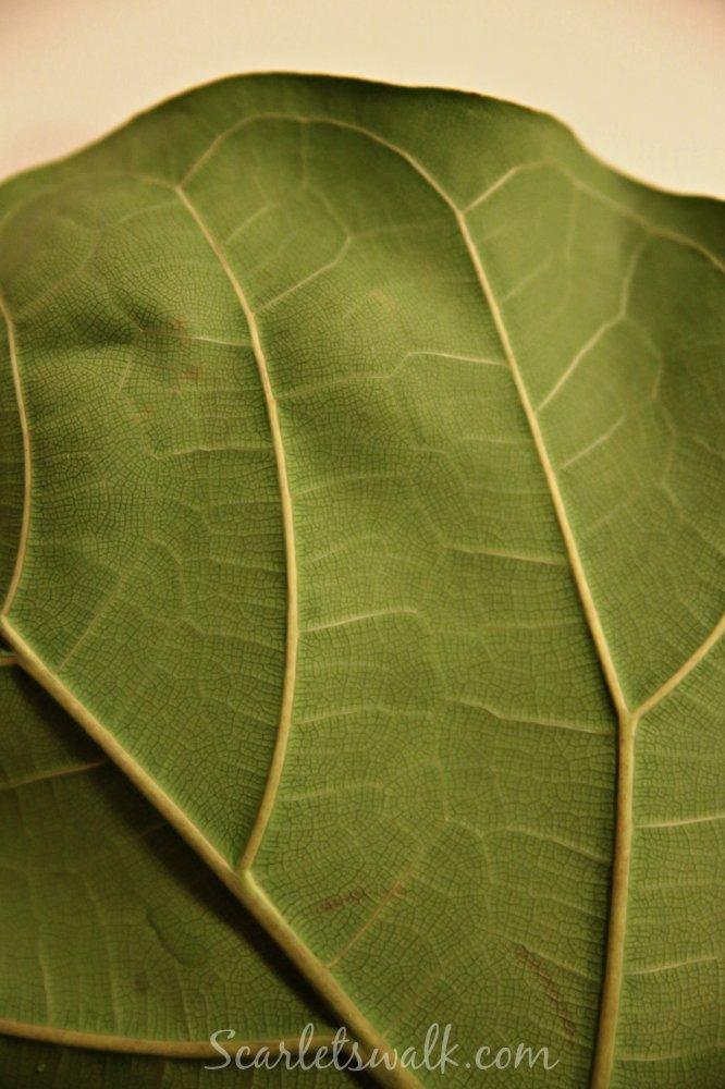 lyyraviikuna leaf