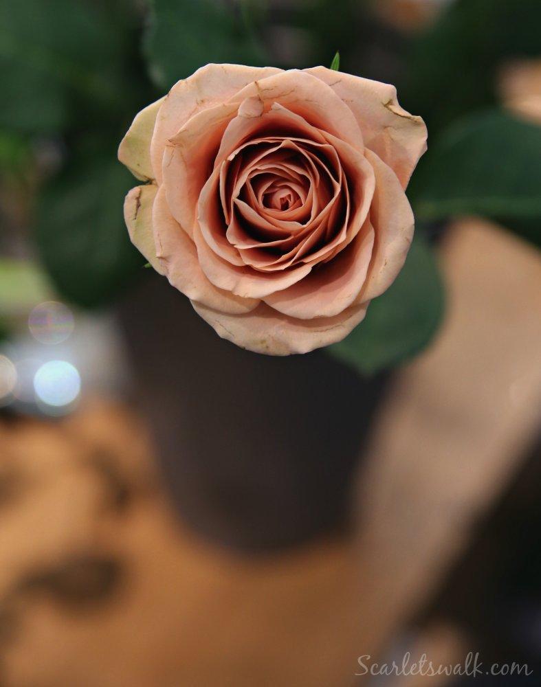 cappucino ruusu