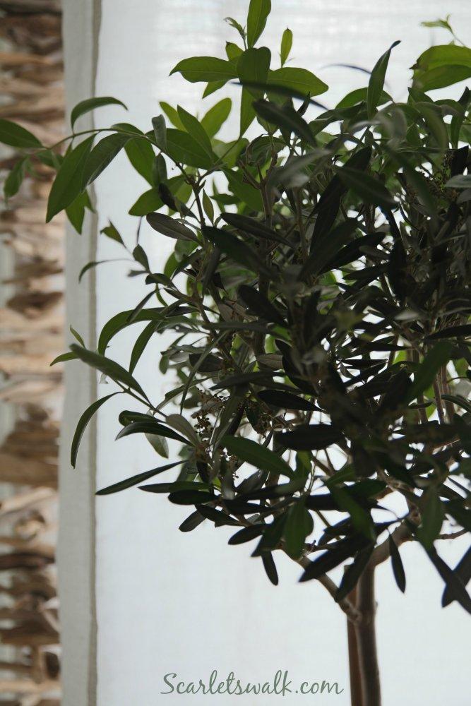 oliivipuu kotona