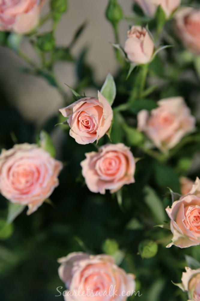 pinkit ruusut