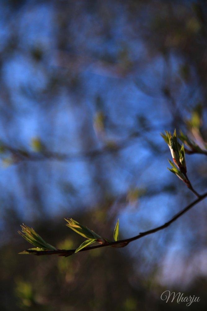 morsiussaari lehdet