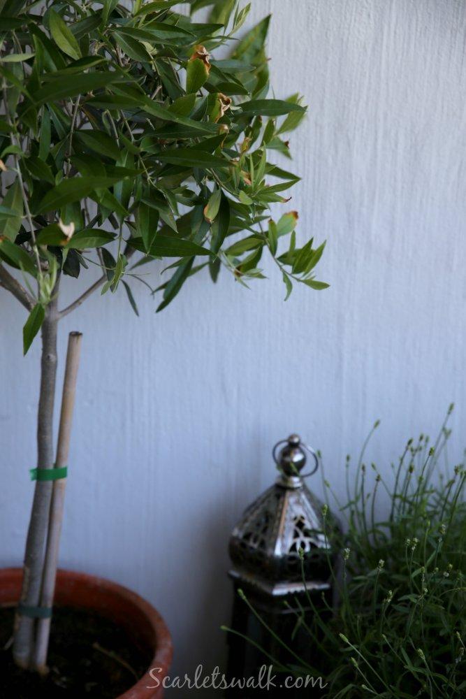 parveke oliivipuu